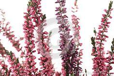 Purple heather close up on white background
