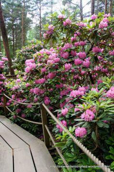 Alppiruusupuisto Haaga Helsinki, #rhodo #rhododendron