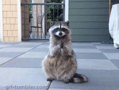 Znalezione obrazy dla zapytania raccoon gif