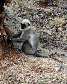 Langur, Nagarhole Tiger Reserve, India