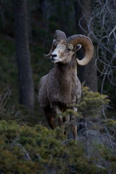 """ Rock Mountain Bighorn Sheep by Ashley Hockenberry """