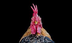 malay-ayam-serama-chickens-photography-ernest-goh-8