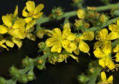 Apróbojtorján | Györgytea.hu Plantation, Herbs, Plants, Lemon Balm, Easy Plants To Grow, Blood Sugar, Bach Flowers, Perennial Plant, Herb