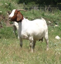 goats | Bar None Meat Goats - The Goat Information Page - Market Wether and ...