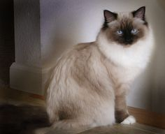 A beautiful ragdoll cat...looks just like the Manny