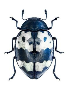 A beautiful Barytopus surinamensis, Navy blue, black and white beetle. Cool Insects, Flying Insects, Bugs And Insects, Beetle Insect, Beetle Bug, Insect Art, Cool Bugs, Beautiful Bugs, Tier Fotos