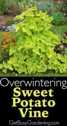 Step by step instructions for successfully overwintering sweet potato vines. Save money by overwintering your sweet potato vine cuttings indoors. Outdoor Plants, Garden Plants, Outdoor Gardens, Sun Plants, Garden Shrubs, Shade Plants, Shade Garden, Herb Garden, Indoor Garden