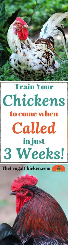 😂😂😂This makes me giggle! Got predators? Love how cute chickens are when they run? Teach your chickens to come when called - it's a great way to keep them safe when predators lurk! Cute Chickens, Raising Backyard Chickens, Backyard Poultry, Keeping Chickens, How To Raise Chickens, Chicken Life, Chicken Runs, Chicken Houses, Chicken Breeds