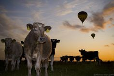 Cows and Balloons at sunset