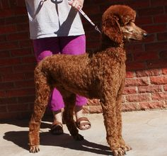 Dana's Hereford TX California Red Standard Poodles TX Irish Setter Puppy Breeder CA Apricot Standard Poodle, Standard Poodles, Poodle Haircut, Poodle Cuts, Red Poodles, Canada, Airedale Terrier, Braveheart