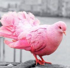 Pink pigeon!!