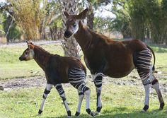 L'okapi e la giraffa sono gli unici due animali appartenenti alla famiglia dei Giraffidi. Fu osservato per la prima volta nel 1888 da Henry Stanley. Ha un colore del mantello particolare: corpo marrone scuro e zampe a strisce bianche e nere come quelle della zebra. Sono mammiferi silenziosi e solitari e prediligono muoversi di notte per la zona nord-orientale della...  Per per saperne di più, visita: http://laveritamisteristoria.jimdo.com/creature-leggendarie/animali-rari-e-strani/