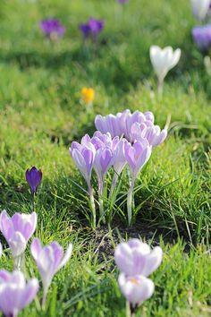 Pin Von Carly Chiriac Auf Crocus | Pinterest | Garten Hinweise Krokus Pflanzen Rasen Blumentopf