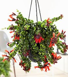 Lipstick Plant Care and Growing Guide - Excellent For Hanging Baskets Hanging Baskets, Hanging Plants, Diy Hanging, Exotic Flowers, Red Flowers, All Plants, Indoor Plants, Porch Plants, Foliage Plants