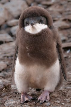 magicalnaturetour:    Cute baby penguin by Sergei Kokinsky :)