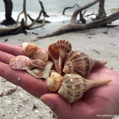 Find whelk shells on the beaches of Anna Maria Island. #AnnaMariaIsland #IslandDreamingAMI Cayo Costa, Shell Island, Sandy Beaches, Florida Beaches, Anna Maria Island, Marina, Sea Shells, Captiva Island, Island Beach