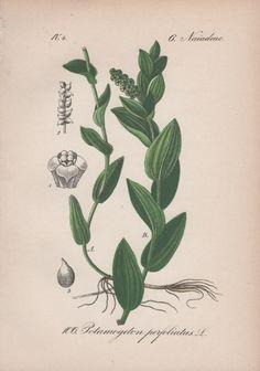 Pondweed Botanical Print Aquatic Plant Illustration Antique