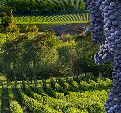 2014 Bordeaux récolte de vin rouge Raisins lieu maintenant
