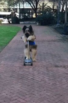 Dog on a Scooter… wow!  First thing in the a.m. my dog and I will be outside working on this stunt!  Haha!