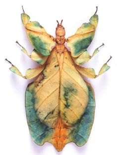 great color leaf insect | IDEAS FOR HOUSE | Pinterest | Leaves, Insects and Fairy Godmother