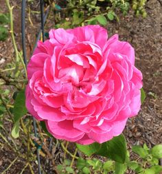 A single late blooming, vibrant rose.