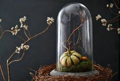 Miniature pumpkin with mossy bed under a cloche