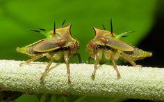 ecuadorlife:  Treehopper nymphs, Alchisme grossa on Flickr.Treehopper nymphs, Alchisme grossa from Reserva Un poco del Chocó: www.flickr.com/andreaskay/sets/72157651515430975