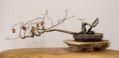 老鴉柿(老爺柿、別名:姫柿)の盆栽 Old Crow Persimmon, aka Princess Persimmon, bonsai 2013.11.23 撮影