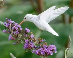 The Rarest Hummingbird: Only 100 of these rare little birds have been sighted since 1885. It's the Leucistic hummingbird, not a true albino, but almost totally white.