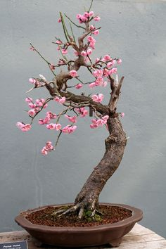 Bonsai is a small and cute tree species. We share the most beautiful bonsai trees and popular types in this photo gallery. Flowering Bonsai Tree, Bonsai Tree Care, Bonsai Tree Types, Indoor Bonsai Tree, Bonsai Trees, Mini Bonsai, Cherry Bonsai, Plantas Bonsai, Bonsai Forest