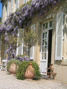 The wisteria by la commanderie in Chateau la Cheneviere
