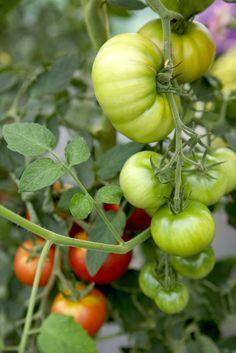 Att så tomater från frö är en härlig känsla. Här följer tips och råd för hur du skall lyckas med din sådd.