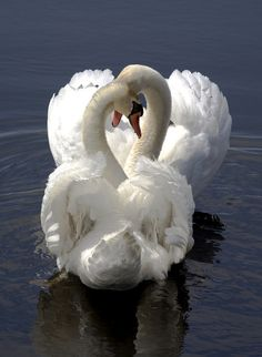 Swans in Love. When I was little, to me, swans were the most beautiful creatures on earth. I was always heartened by the 'Ugly Duckling' story and hoped I'd turn into a swan someday. Never happened! HA!