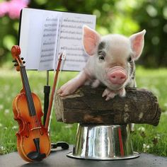 Teacup pig plays violin in a tiny orchestra. Cute Baby Pigs, Cute Piglets, Cute Baby Animals, Funny Animals, Farm Animals, Pocket Pig, Teacup Piglets, National Pig Day, Pig Pics