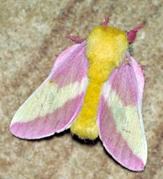 Rosy maple moth, blowing my mind.