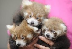 Knoxville Zoo's passel of new red pandas are important to species' survival - Go Knoxville Story