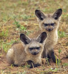 Bat Eared Fox kits - Bat-eared foxes use these specialized ears to locate termites, dung beetles, and other insects, which make up most of their diet. Bat-eared foxes can hear larvae chewing their way out of an underground dung beetle ball. They can also detect the sound of harvesting termites chewing on short grasses