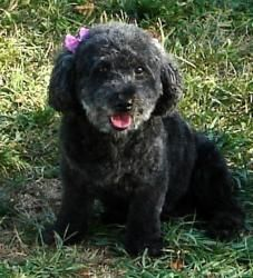 Darla is a darling toy poodle mix who was rescued from a puppy mill. We think she's likely mixed with bichon frise.  She is as cute as they come and is enjoying learning what being a pet is all about. She's loving all the new sites, smells and sounds she's discovering in the fenced yard at her foster home. Freedom feels and smells pretty good to Darla!