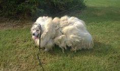 El perro fue una víctima del infortunio y la negligencia que lo llevó a soportar…