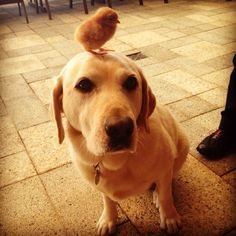 This is Frankie He has a chicken on his head.