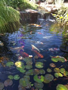 Nick's has a great selection of water gardening equipment and accessories. Here is our very own Chambers Pond that is in our store and maintained by our Pond Pros. Watercolor Projects, Watercolor Landscape, Landscape Paintings, Landscapes, San Gabriel, Carpe Koi, Pond Life, Pond Design, Nature Aesthetic