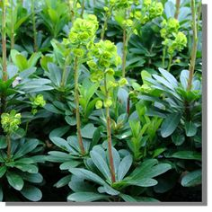 Euphorbia amygdaloides var robbiae (immergrün): mix with buxus & deschampsia