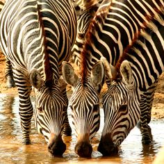 The plains zebra is found across east and southern Africa savannahs but continued population decline and threatens its survival. Learn what AWF is doing to protect this iconic species plus interesting zebra facts. African Animals, African Safari, Zoo Animals, Cute Animals, Wild Animals, Stupid Animals, Out Of Africa, Fauna, Giraffes