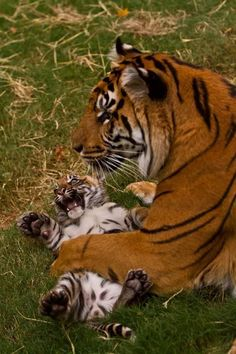 """The cub is just like """"RAWR. MOTHER RELEASE ME!!! I AM UNSTOPPABLE"""""""
