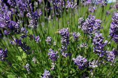 Angol vagy francia levendula – bármelyiket válasszuk is, ékessége lesz a kertünknek, balkonunknak. Hasznos tudnivalók, információk, érdekességek. Plants, Flowers, France, Plant, Planets