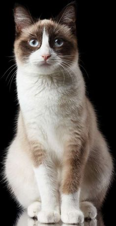 Snowshoe cat information, pictures. Snowshoe cats crave interaction and are very friendly, affectionate and demonstrative, without any aloofness Cute Cats And Kittens, I Love Cats, Crazy Cats, Cool Cats, Pretty Cats, Beautiful Cats, Snowshoe Cat, Animal Gato, Cat Reference