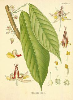 カカオ アオイ科 Theobroma cacao L. (cacao , cocoa) Köhler, 1571