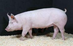 Raza Yorkshire, This Little Piggy, Hippopotamus, Animals, Piglets, Display, Backgrounds, Animales, Animaux