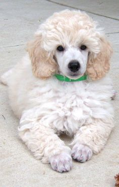 I wish owners of poodles would leave their fur like this instead of getting one of those ridiculous poodle cuts. They look silly in a poodle cut. Dog Training Methods, Basic Dog Training, Training Dogs, Positive Dog Training, Dog Behavior, Dogs And Puppies, Poodle Puppies, Morkie Puppies, Best Dogs