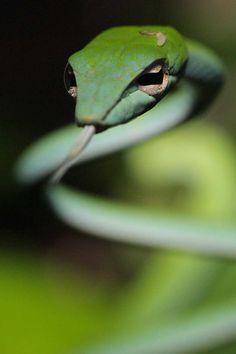 💘 Grass-green Whip Snake, Borneo.💘💘
